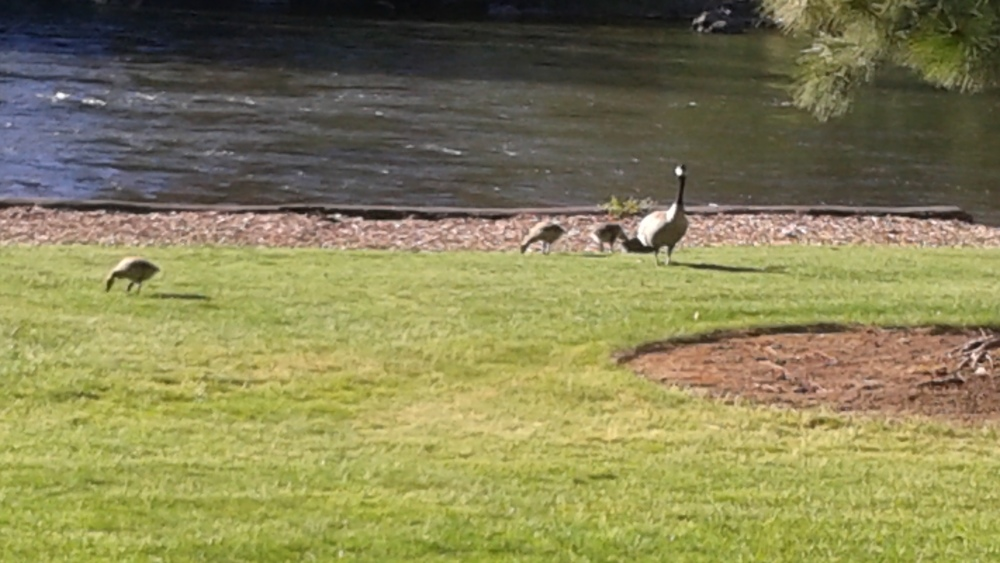 Baby Geese from the banks of the Deschutes in Bend