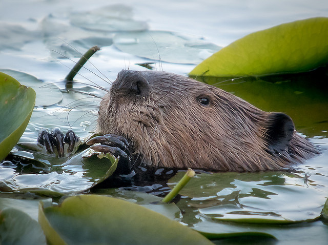 Beavers are herbivores! The love aquatic plants and the soft middle of tree bark.
