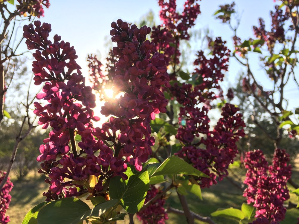Lilac in Bend Oregon
