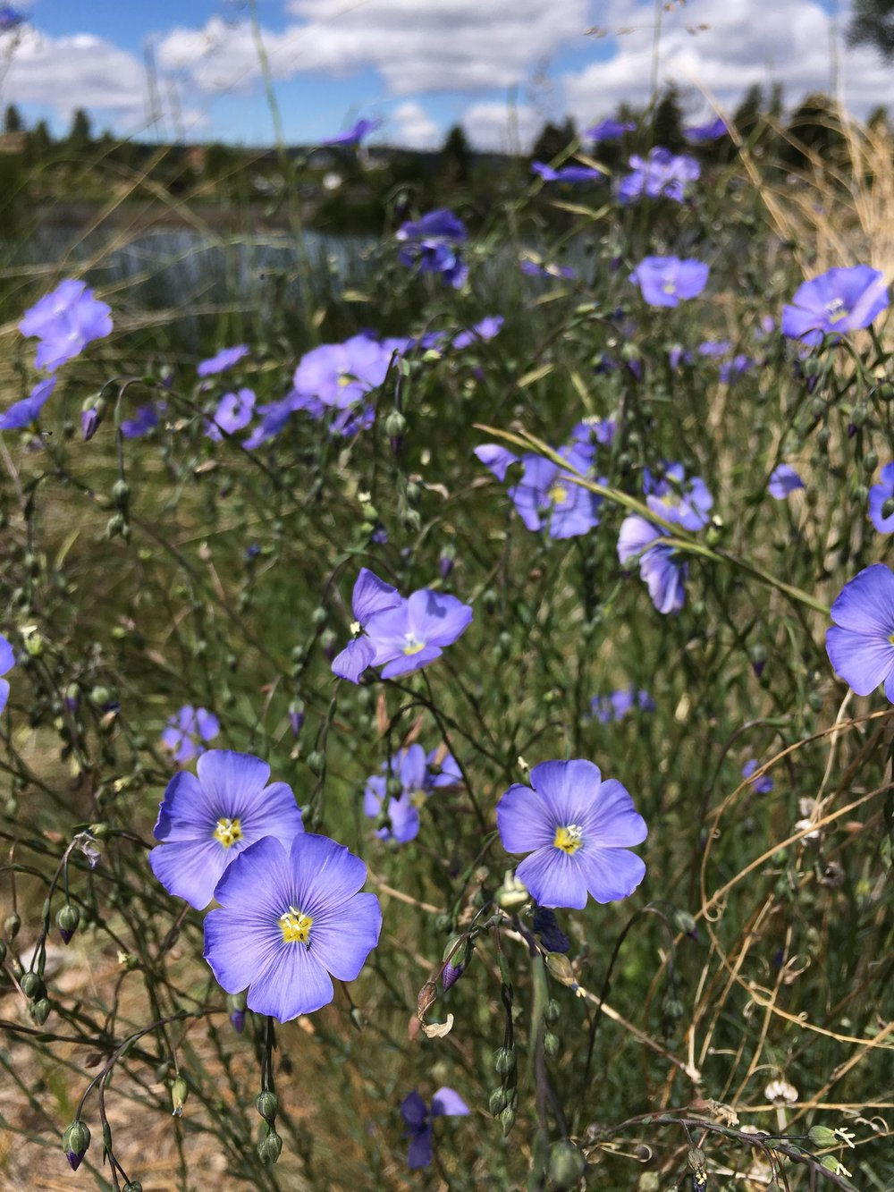 Blooms along the Deschutes River