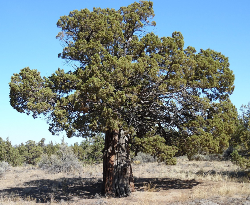 Juniper-Tree-Central-Oregon
