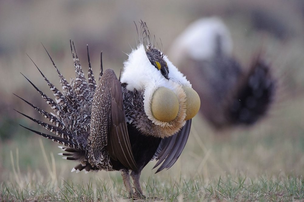 Male Sage Grouse with gular sacs extended