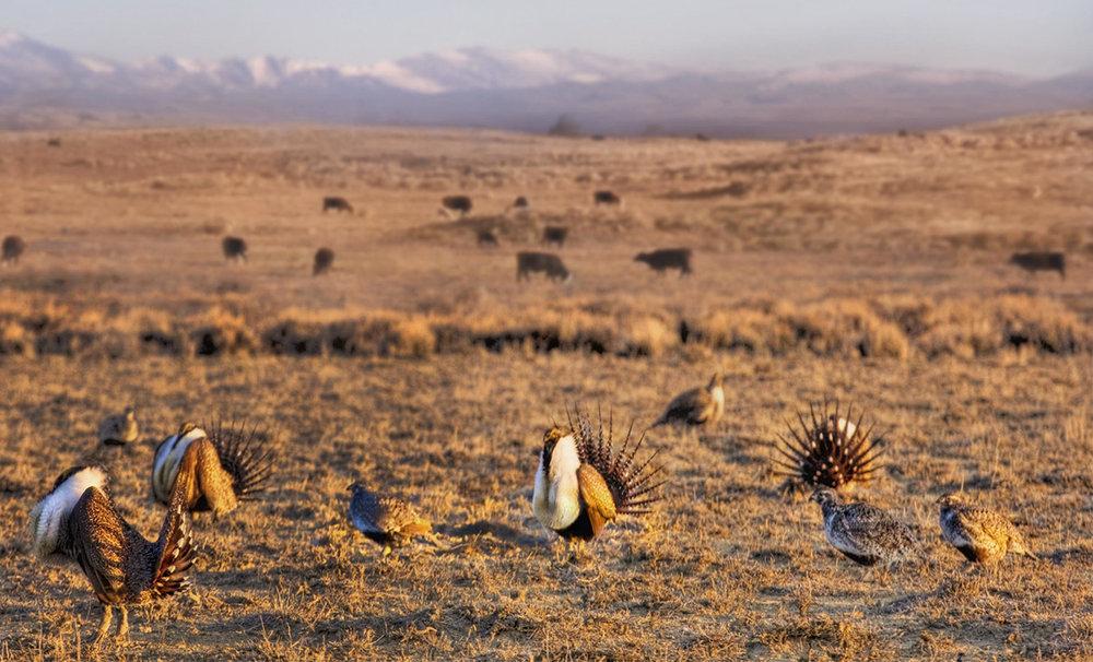 Sage Grouse habitat:dry, sage-covered lands.