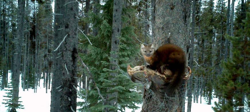 Pine Marten in Umpqua National Forest. Photo by  Armchair Explorer .