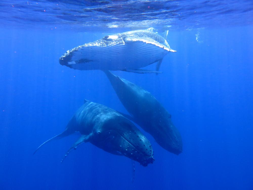 MV Monsoon whales.jpg