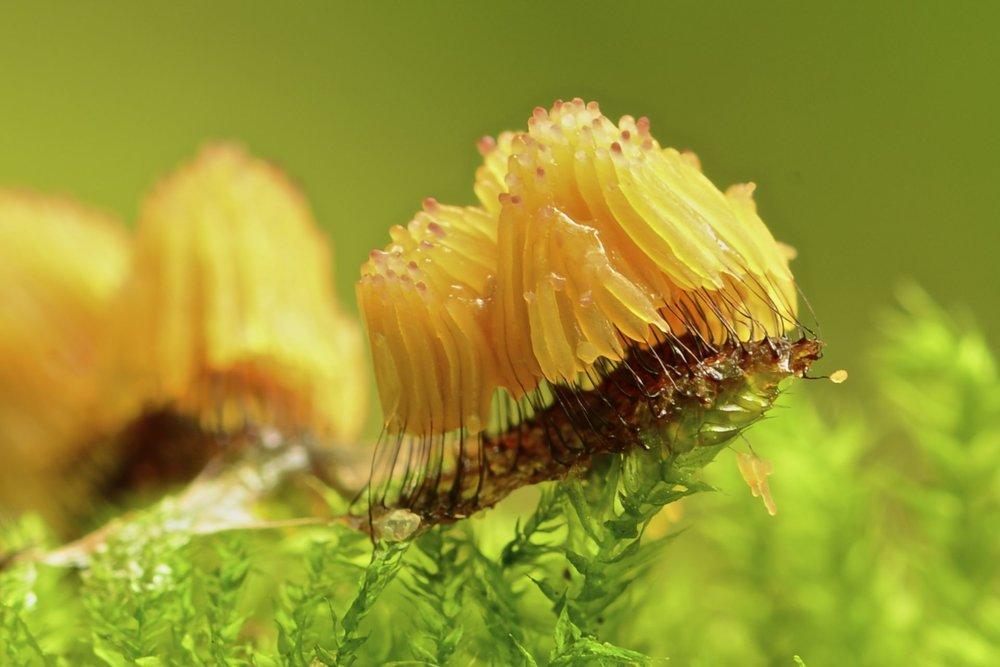 Stemonitis fusca.jpg