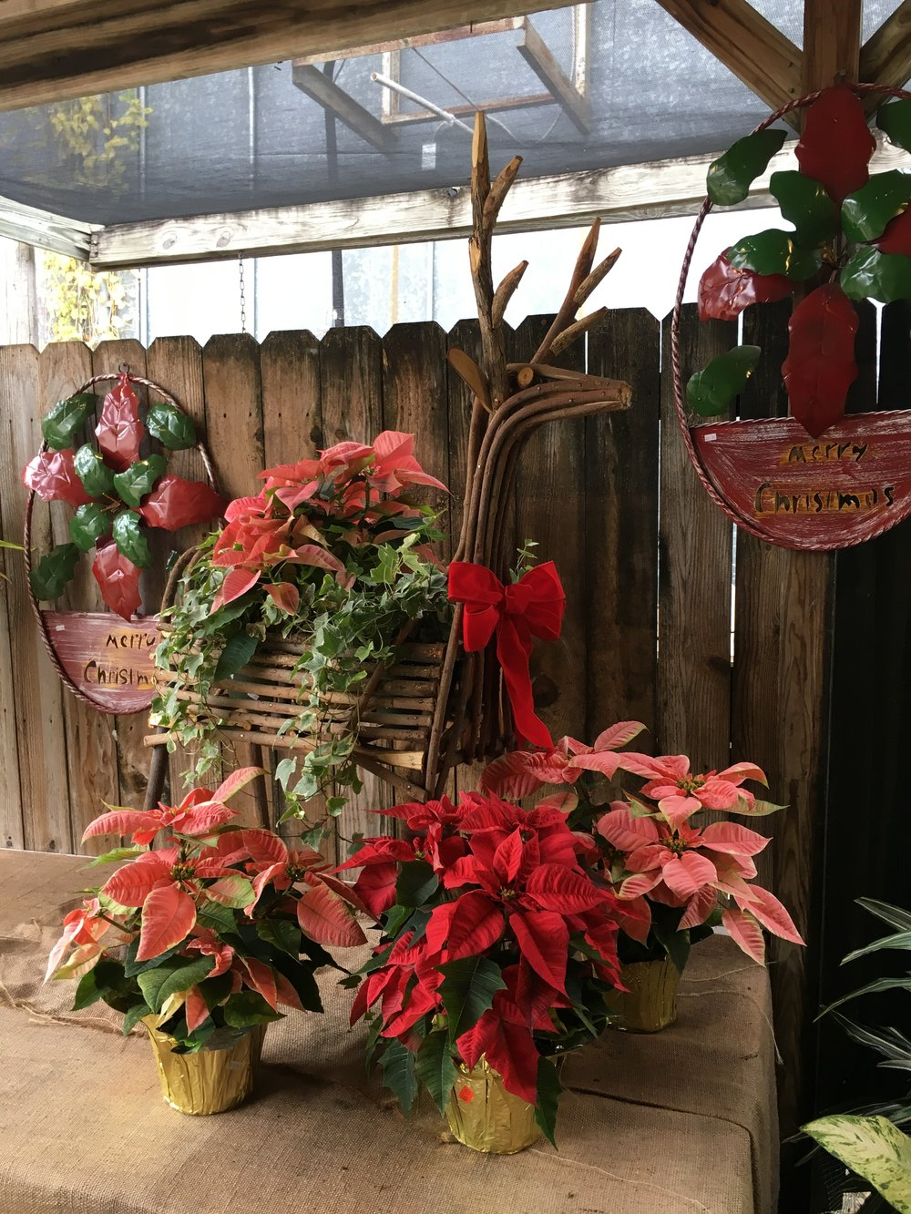 Come by the shop for the best selection of poinsettias in town!