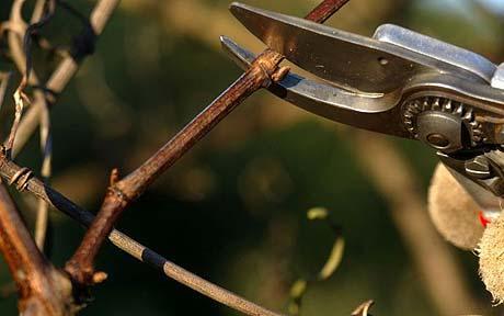 pruning-a-vine_1523703c.jpg