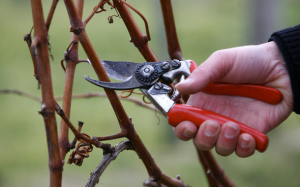 pruning-300x187.png