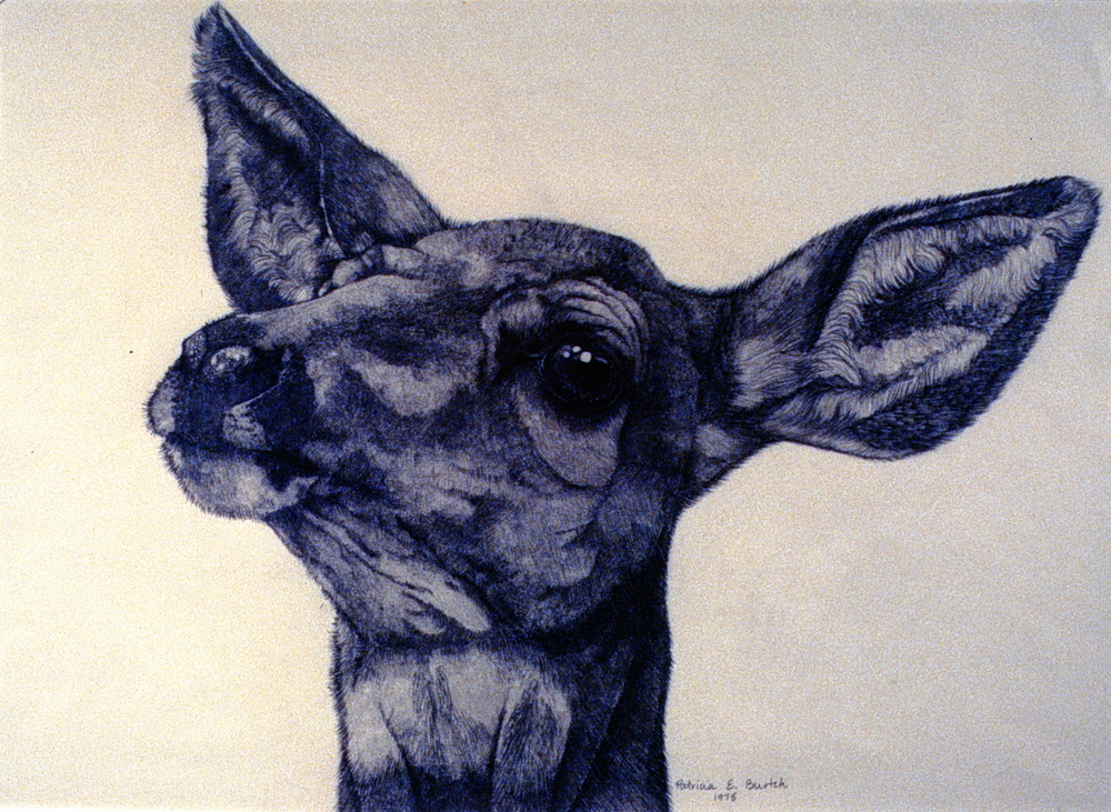 Mule Deer , 1975, Patricia Burtch, graphite on paper, 42.5 cm x 30 cm, 1977.01.01, purchased by the Selection Committee of the Penticton Arts Centre Gallery in 1972