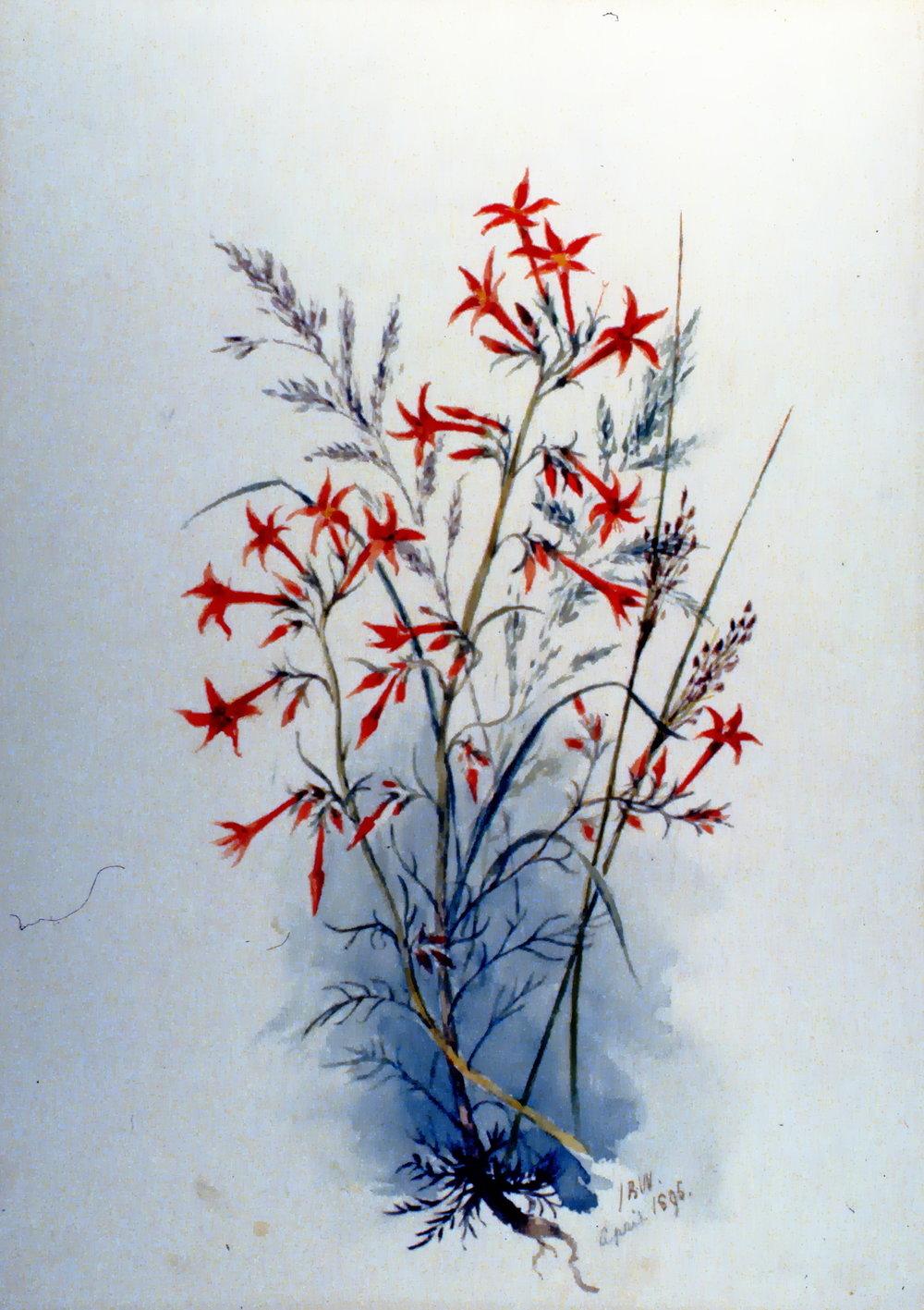 Scarlett Gilia, 1895, Julia Bullock-Webster, watercolour on paper, 35.3 x 25.2 cm, 1983.02.13. Gift of Mrs. Barbara Steel.