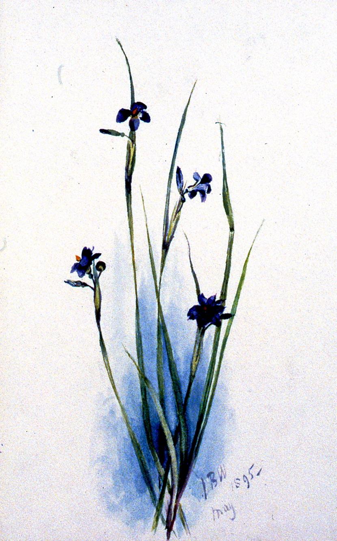 Purple Flowers, 1895, Julia Bullock-Webster, watercolour on paper, 23 x 14.8 cm, 1983.02.15. Gift of Mrs. Barbara Steel.