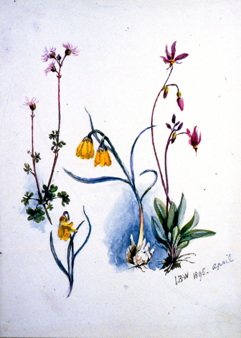 Yellow Lily , 1895, Julia Bullock-Webster, watercolour on paper, 22.6 x 16.3 cm, 1983.02.17. Gift of Mrs. Barbara Steel.