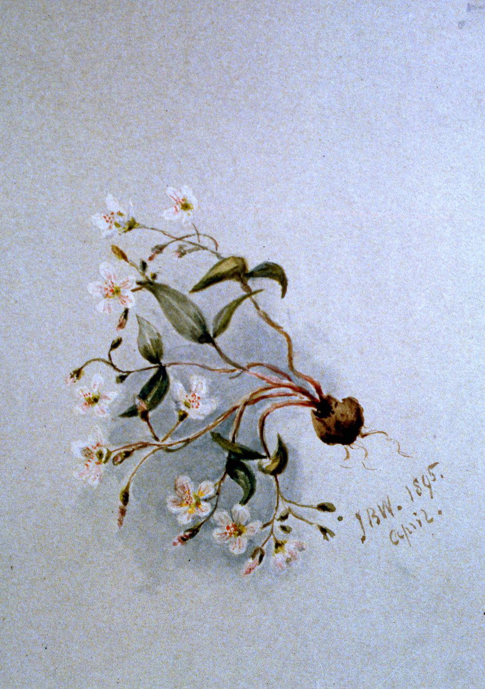 Untitled (Claytonia Carolianum, Doderatheon Jeffrey), 1895, Julia Bullock Webster,watercolour on paper, 25.5 x 35.5 cm, 1982.02.18. Gift of Mrs. Barbara Steel.