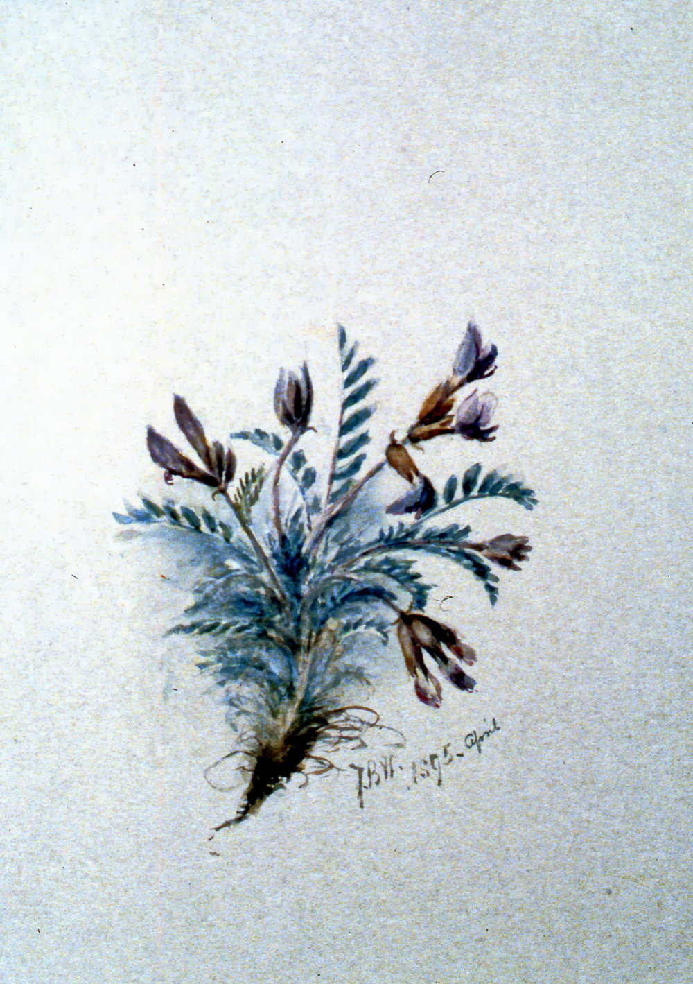 Untitled (Purple Flowers), Julia Bullock-Webster1895, watercolour on paper, 25.5 x 35.5 cm, 1983.02.20. Gift of Mrs. Barbara Steel.