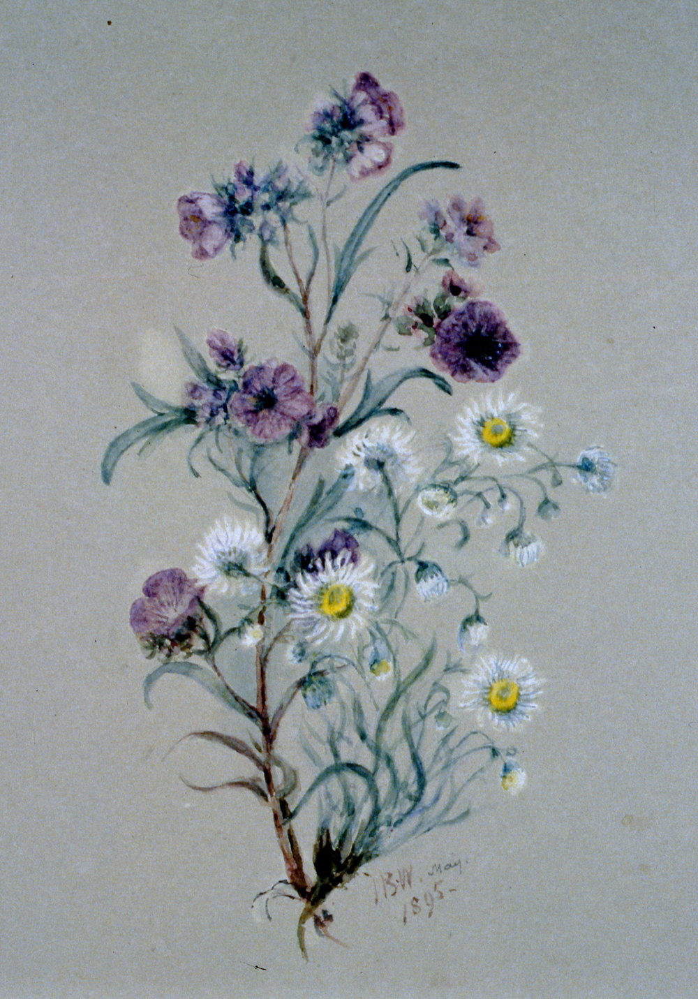 Untitled (Purple Phacilia), 1895, Julia Bullock-Webster, watercolour on paper, 24.9 x 35.5 cm, 1983.02.22.  Gift of Mrs. Barbara Steel.
