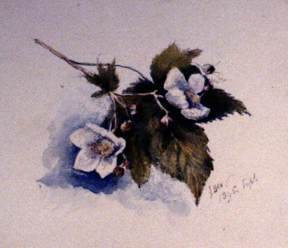 Untitled (Thimble Berry Rubus Nutkanus), 1895, Julia Bullock-Webster, watercolour on paper, 16.3 x 22.7 cm, 1983.02.26. Gift of Mrs. Barbara Steel.