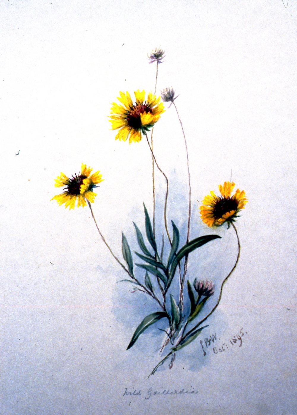 Wild Gaillardia , 1895, Julia Bullock Webster,watercolour on paper. 35.5 x 25.5 cm, 1983.02.28. Gift of Mrs. Barbara Steel.