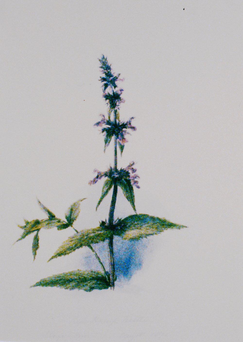 Red Hemp Nettle , 1871, Julia Bullock-Webster, watercolour on paper, 27.1 x 18.9 cm, 1983.02.29. Gift of Mrs. Barbara Steel.