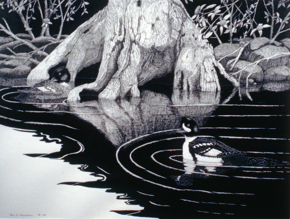 Barrow's Goldeneye, 1987, Pearl E. Morgenstern, ink on paper, 1987.02.02. Gift of the South Okanagan Naturalist Club.