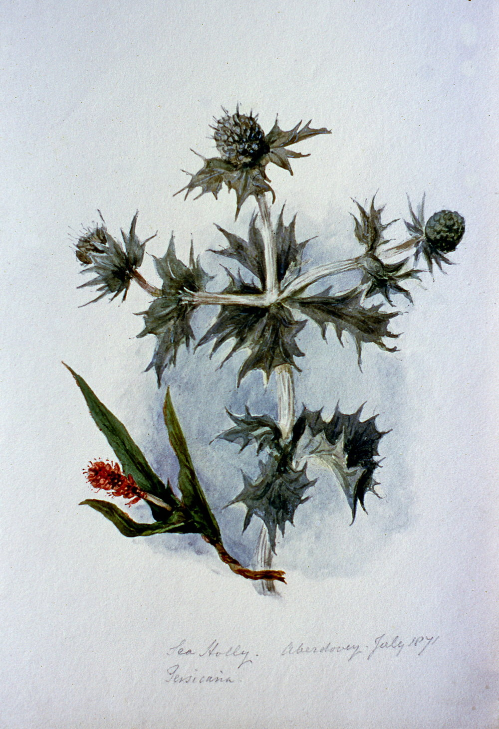 Tea Holly and Persicanna Aberdovey , July 1871, Julia Bullock Webster, watercolour on paper, 28 cm x 18.5 cm, 2003.02.04, gift of The Grist Mill at Keremeos
