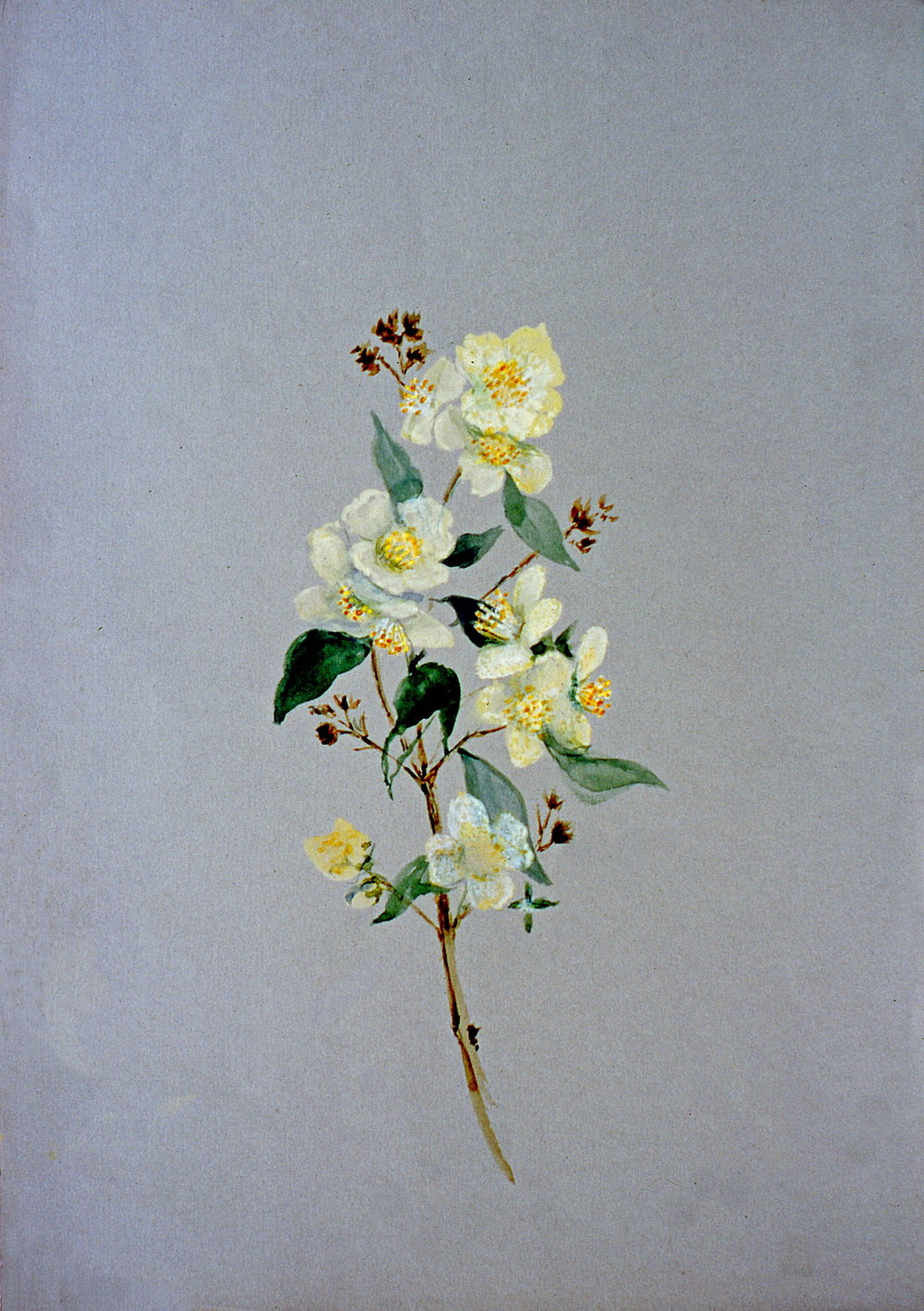 Untitled (Botanical - Yellow Flowers), n.d. Julia Bullock Webster, watercolour on paper, 35.3 cm x 25 cm, 2003.02.16, gift of The Grist Mill at Keremeos