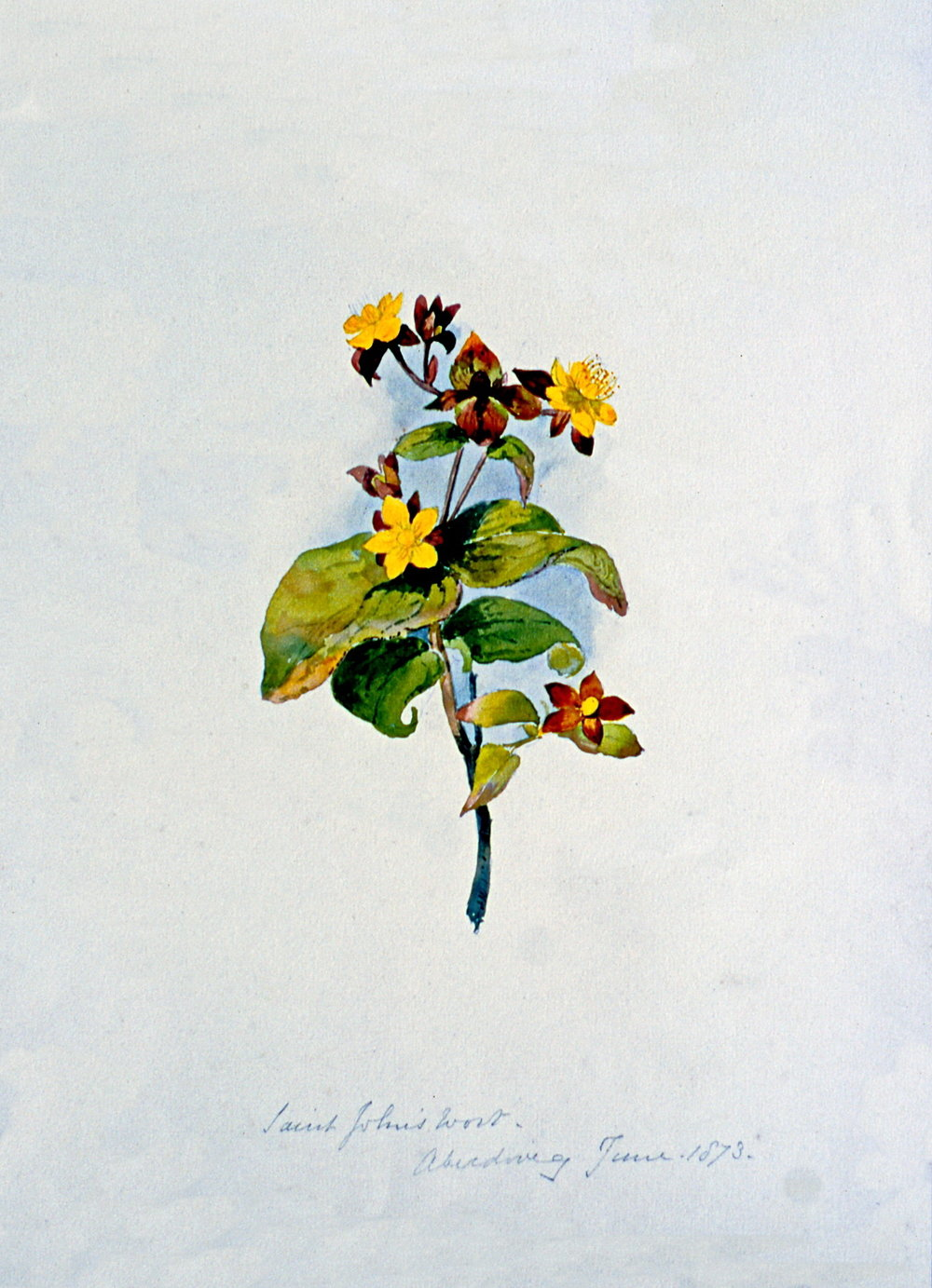 St. Johns Wort - Aberdovy June 1873 , June 1873, Julia Bullock Webster, watercolour on paper, 35.2 cm x 25.6 cm, 2003.02.24, gift of The Grist Mill at Keremeos