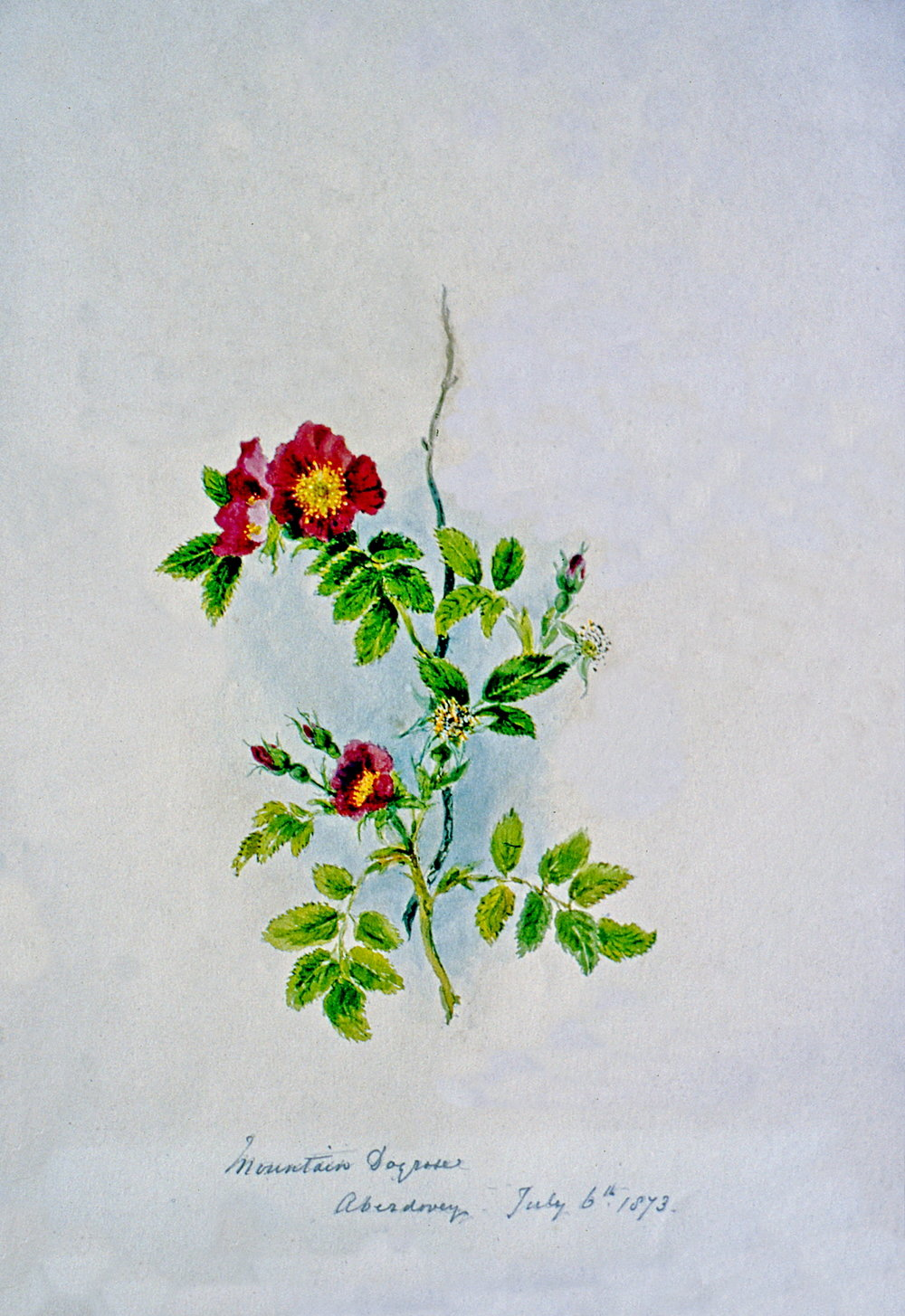 Mountain Dog Rose - Aberdovey July 6 1873 , July 1873, Julia Bullock Webster, watercolour on paper, 35.3 cm x 25.1 cm, 2003.02.27, gift of The Grist Mill at Keremeos