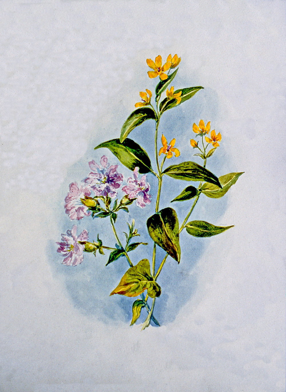 Untitled (Botanical - Pink & Yellow Flowers), n.d., Julia Bullock Webster, watercolour on paper, 35.6 cm x 25.2 cm, 2003.02.29, gift of The Grist Mill at Keremeos