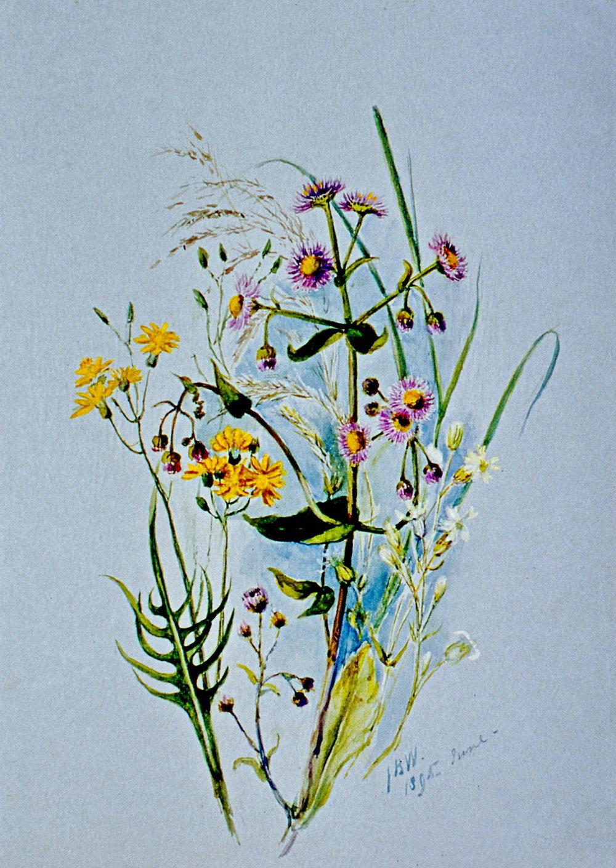 Erigiron Philadilfhium Trontinum,  June 1895, Julia Bullock Webster, watercolour on paper, 35.5 cm x 25.4 cm, 2003.02.31, gift of The Grist Mill at Keremeos