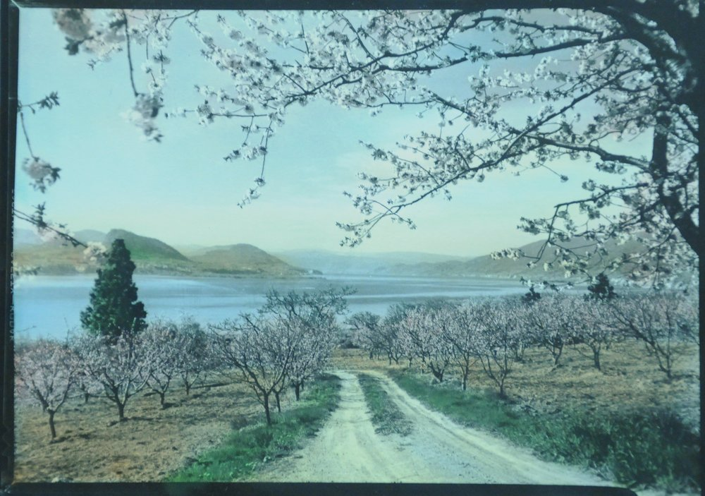Okanagan Blossom Time,  n.d., Lumb Stocks, tinted photograph, 11.7 x 17 cm, 2003.03.02. Gift of Kirsten & Ron Candy.