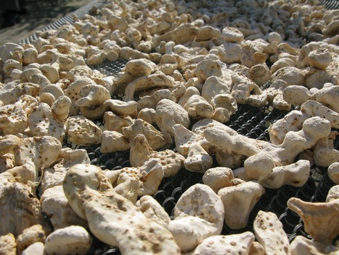 Orris root drying in the hot Tuscan sun. Image via alcademics.com