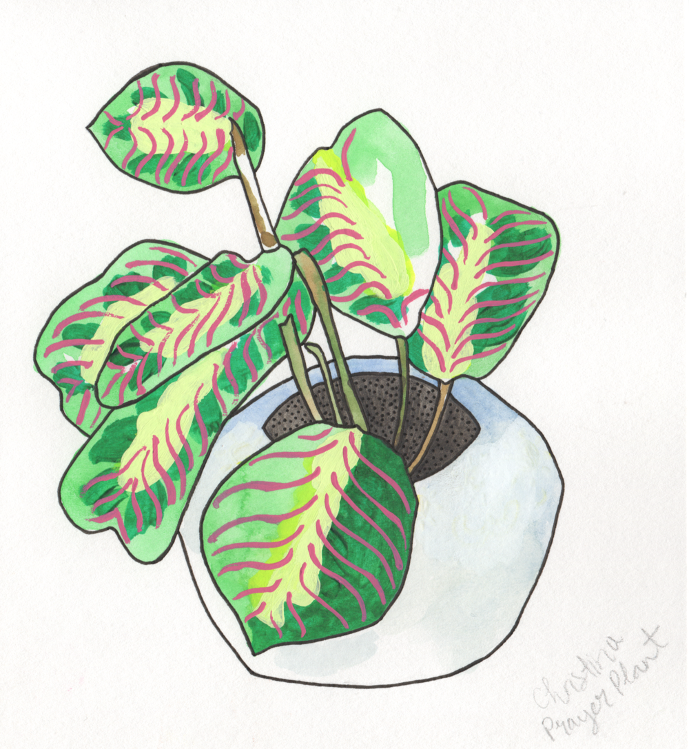 Prayer Plant   Christina Scheppmann Thomas, 2017 Ink & Watercolor on Paper   PRINTS AVAILABLE    Copyright Persika Design Co. LLC - Contact Christina@PersikaDesignCo.com to commission or collaborate!