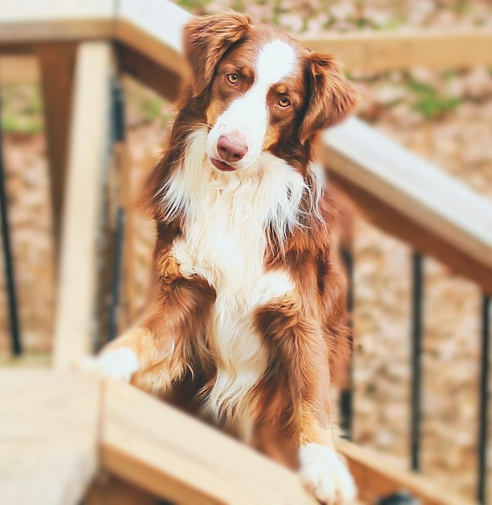 Chief - Red Tri Australian Shepherd