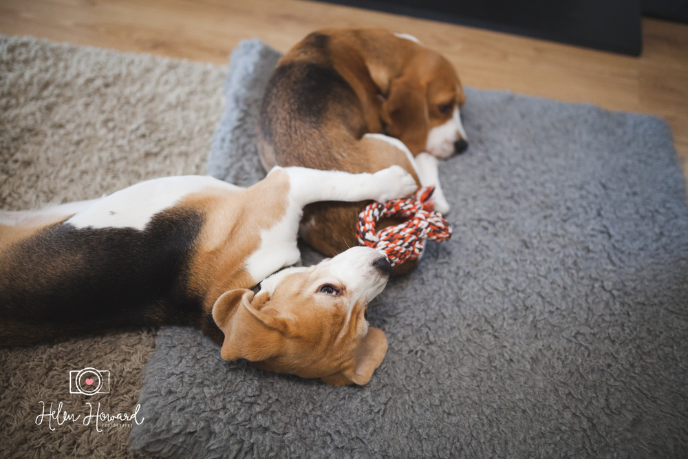 Two beagles lying on a rug documentary family photography