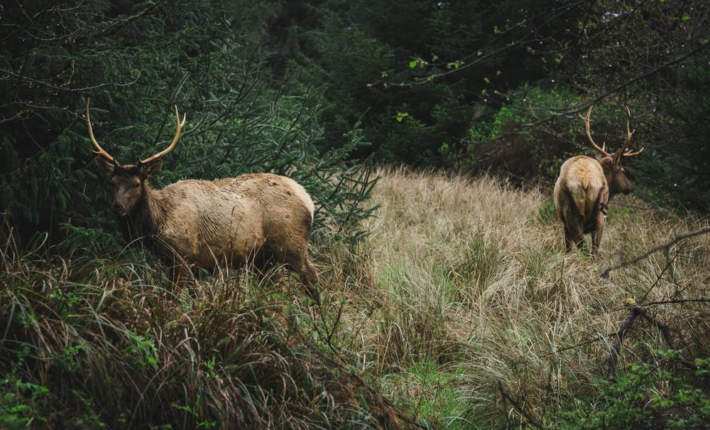 Two Bull Elk Grazing - Orick, CA