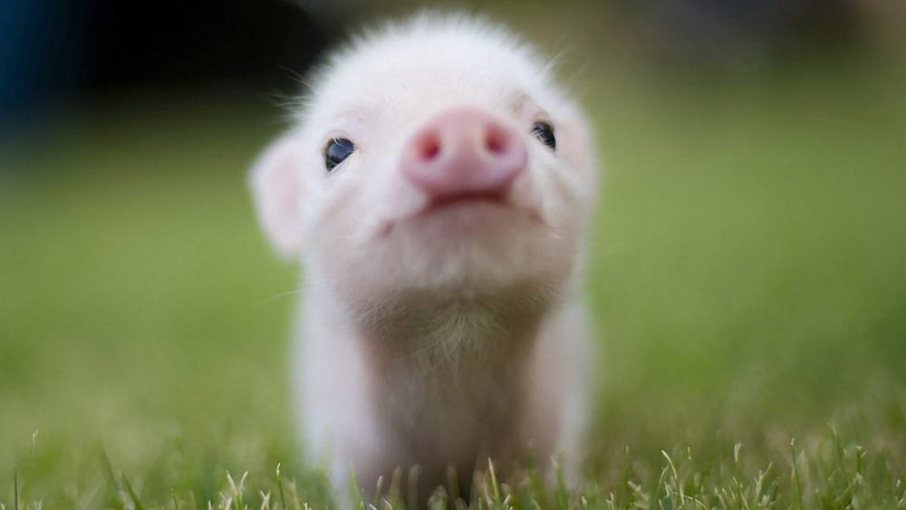 little-cute-pig-wallpaper-1920x1080.jpg