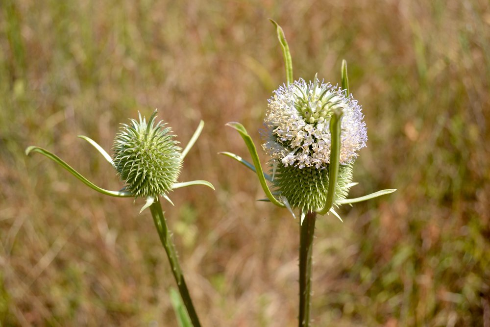 Teasel (another non-native) at RFS