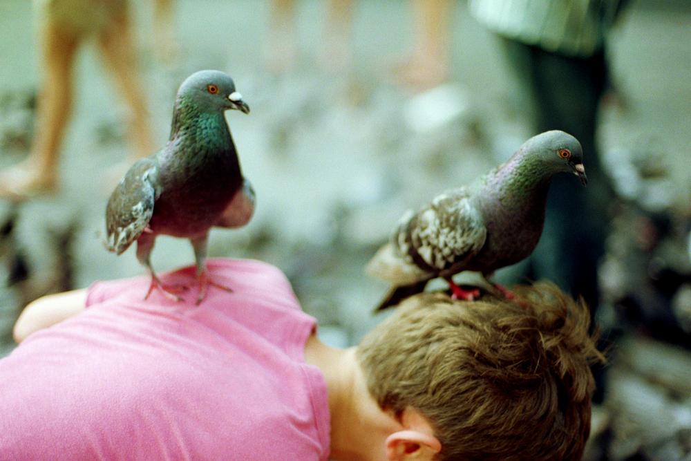 Pigeons in San Juan, 2015