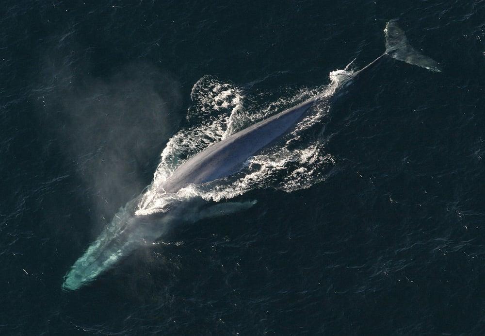 BlueWhale_NOAA.jpg