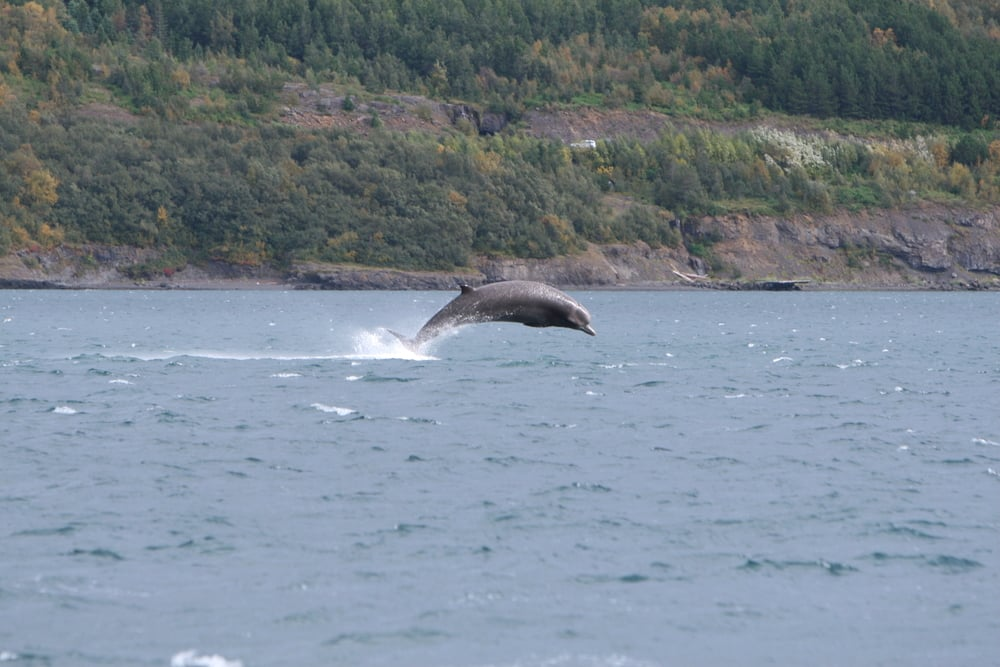 Bottlenose whale ( Hyperoodon ampullatus ) jumps out of the water at the inner part of Eyjafjörður during the fall