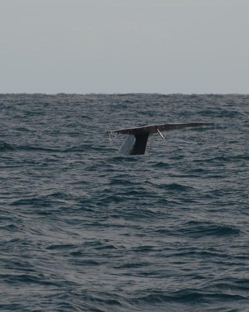 3+Blue+Whale+fluke.jpg