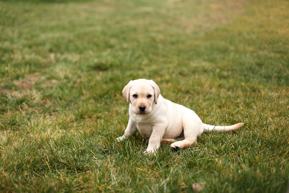 Lifestyle Photo 1 - Lab Puppy