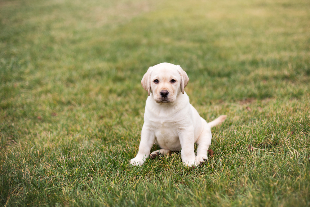 Lifestyle Photo 2 - Lab Puppy