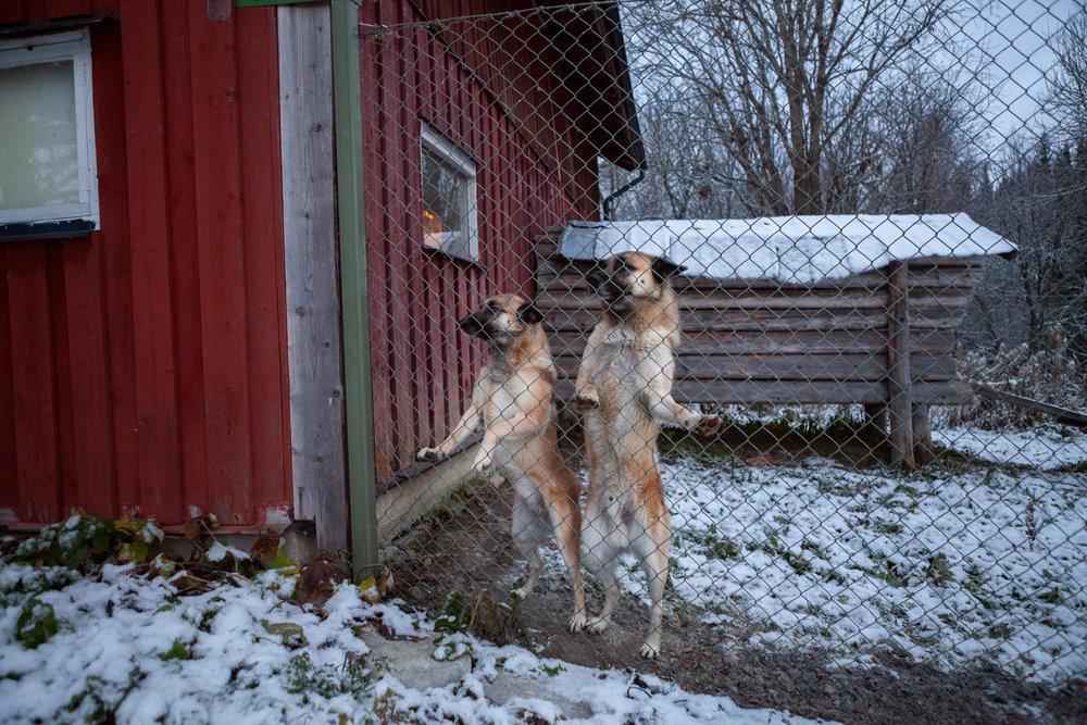 Hundar-på-gården.jpg