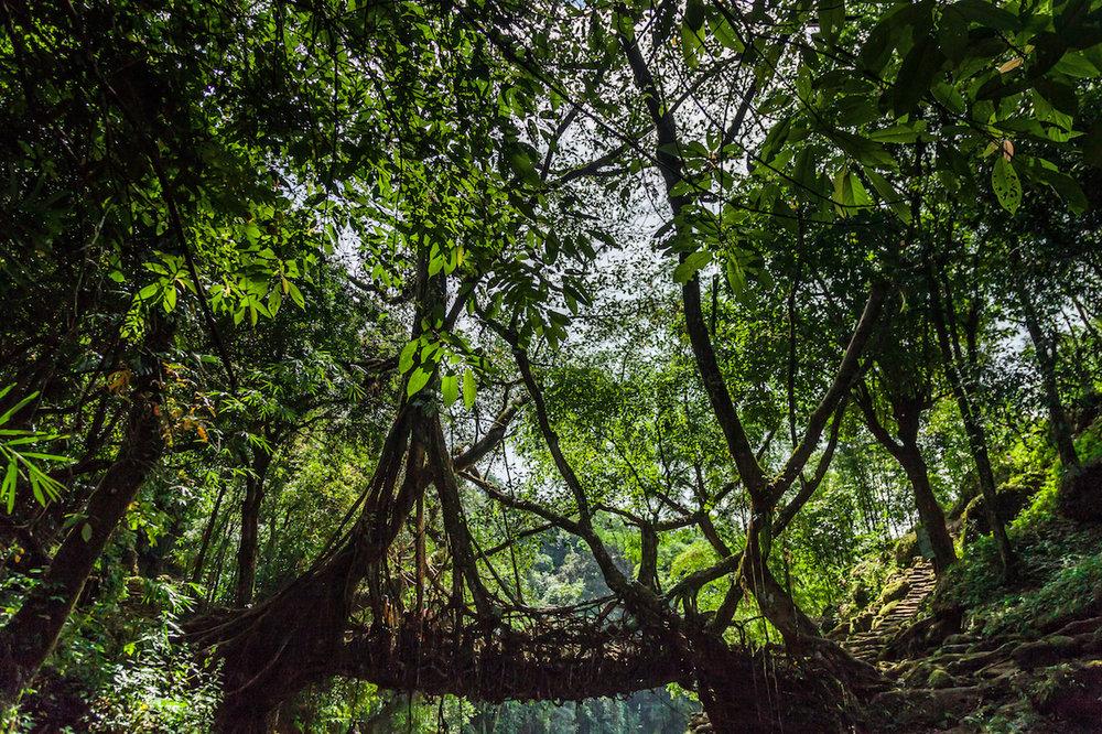 Living Root Bridge, Riwai, Meghalaya, India