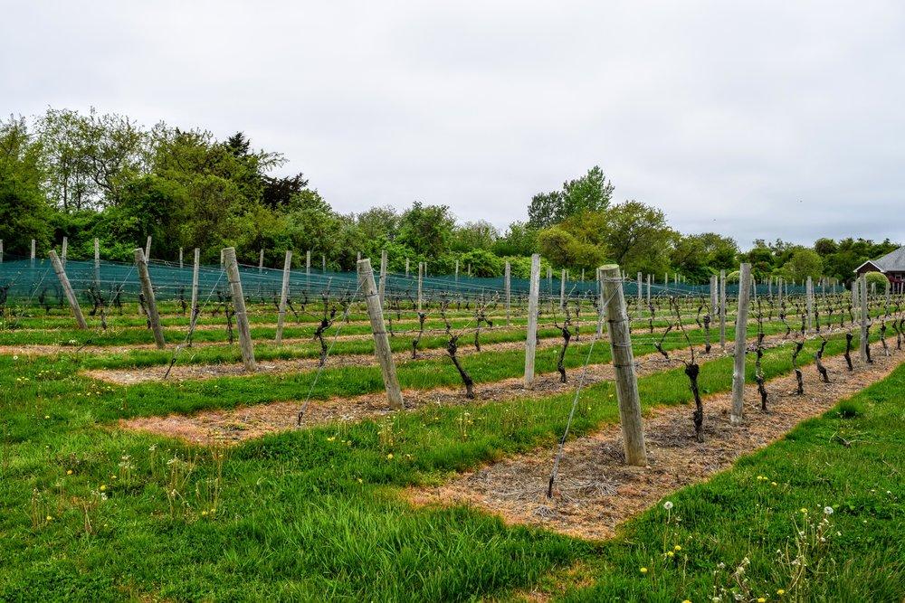 The Hamptons Wine Vineyards