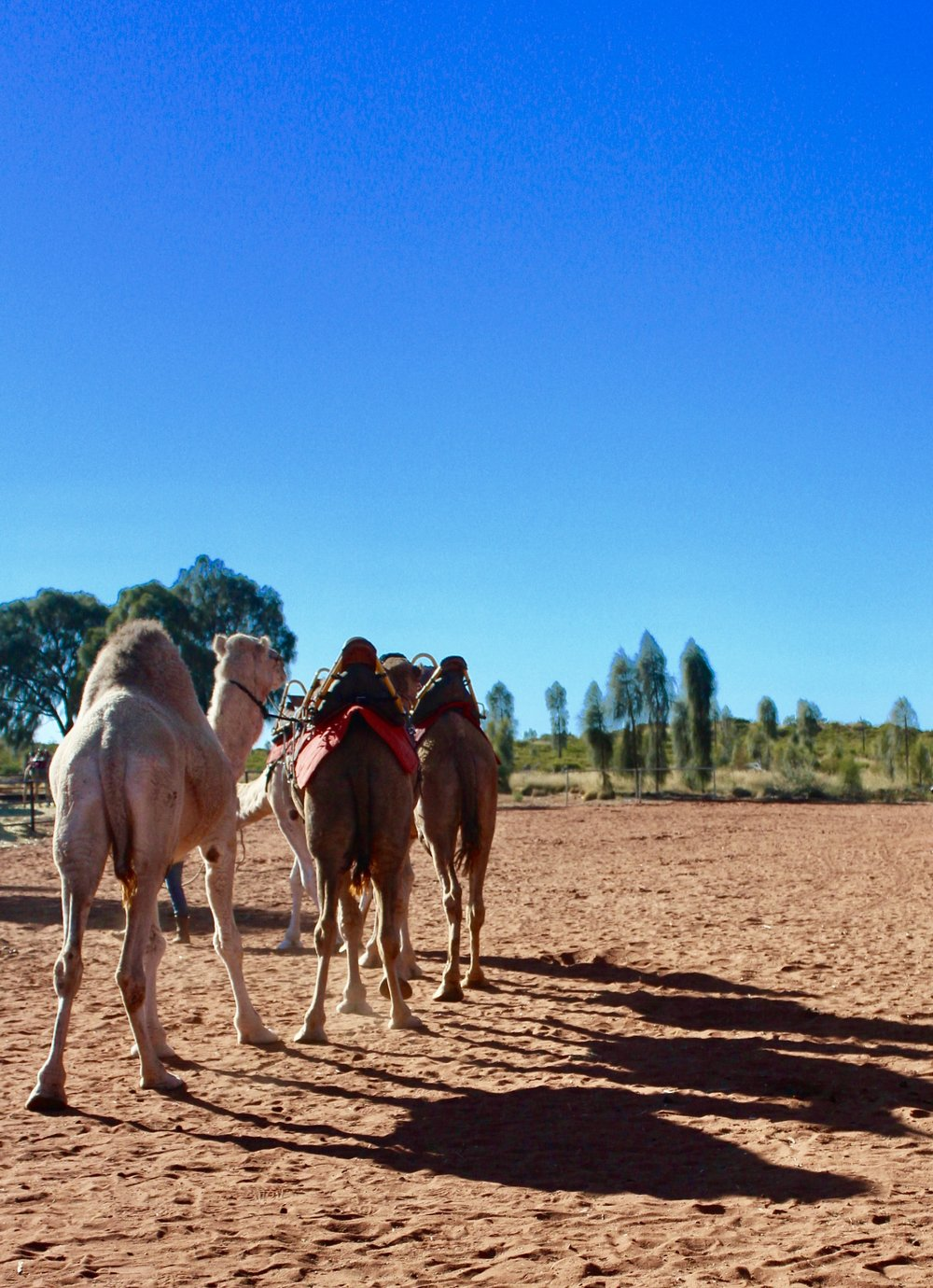 Camels at the nearby farm