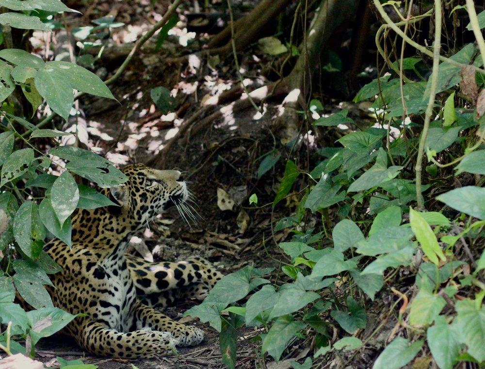 Jaguar at the Belize Zoo