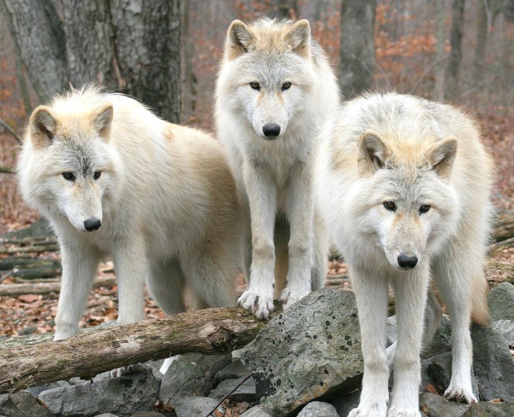 25917-white-wolves-1920x1200-animal-wallpaper.jpg